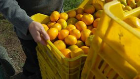 Carrying crates of Oranges and tangerines from plantation