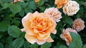 Slow motion footage of orange roses