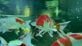 Slow motion of goldfish eating fish food and swimming in freshwater aquarium. Close up stock video