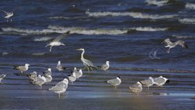 Slow motion: gray heron and a flock of seagulls are standing in shallow water. Heron flies away, but the wind blows it aside. The waves roll on the sandy shore stock video
