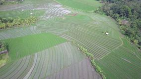 Great aerial view of green rice fields amidst the rain forest, full of water green rice checks in the light of evening stock footage