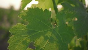 Slow motion green leaves of grapes and unripe bunches in spring. Slow motion green leaves of grapes and unripe bunch in the spring sun stock video footage