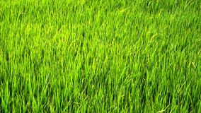 Green paddy field. Slow motion: green paddy field with wind blowing stock footage