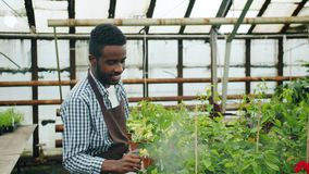Slow motion of handsome African American guy watering plants in greenhouse. Slow motion of handsome African American guy in apron watering green plants in stock video footage