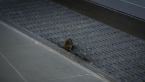 Slow motion the house mouse sneaking eating meal inside a house stock video
