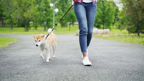Slow motion low shot of young woman in jeans walking her adorable small dog in city park. Road, green lawn and trees. Trendy jeans and footwear is visible stock footage
