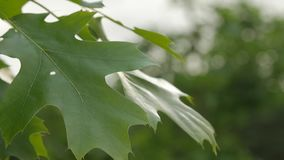 SLOW MOTION: Macro close up of fresh tree leaves in springtime stock video footage