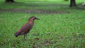 Slow motion Malayan night heron on green grass of Park Taipei in raining day stock video
