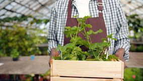 Slow motion of male farmer walking in greenhouse with box of green plants. Carrying flowers working alone. Close-up shot of man`s hands and container with stock footage