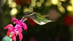 Slow motion male hummingbird make 3 right turns before visiting the pink flower