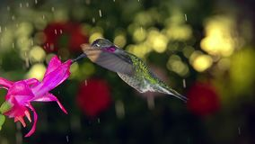 Slow motion male hummingbird visits pink flower on rainy day