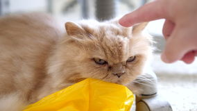 Slow motion of man touching persian cat. On floor stock video footage