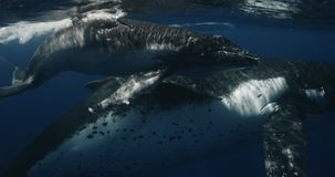 Close-up of a Baby Whale accompanied by a mother. Whales swim in the Pacific Ocean of the kingdom of Tonga. This rare stock video footage