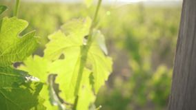 Slow motion large green grape leaves in the sun. Slow motion movement of the camera with an old wooden vineyard support on green leaves stock footage