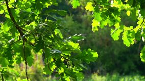 Slow motion of oak branches in the sunlight. Slow motion of oak branches in the sunlight close up stock video footage