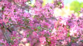 Slow motion panning closeup shot of pink blossoming sakura trees in spring garden or park. Slow motion panning closeup shot of pink blossoming sakura trees over stock footage