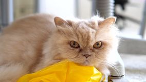 Slow motion of persian cat staring at people. On floor stock video