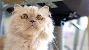 Slow motion of persian cat staring at people. On floor stock footage