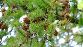 Slow motion pine cones. Tree pine cones swaying. Branch with pine cones are moving slowly in the tree stock video