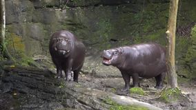 Slow motion of Pygmy Hippo open the mouth, sign of its aggressiveness. Zoo. Slow motion of Two Pygmy Hippo open the mouth, threatening sign of its aggressiveness stock video footage