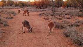 Red kangaroos fighting. SLOW MOTION of red kangaroos fighting for food on red sand of outback central Australia wilderness. Australian Marsupial in Northern stock footage