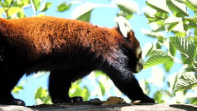 Slow motion of red panda is walking. On the tree stock video
