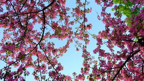 Slow motion rotating shot of pink blossoming sakura trees over blue sky in spring park. Slow motion rotating shot of pink blossoming sakura trees over blue sky stock video footage