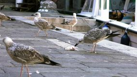 Slow Motion of seagull bird eats a fish waste near the water canal Venice stock video