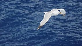Seagull in flight in SLOW MOTION