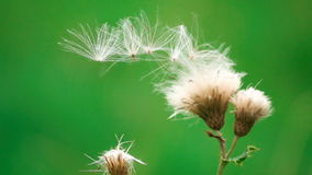 Slow Motion Seeds In The Wind stock video footage