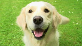 Slow Motion Sequence Of Happy Golden Retriever Dog On Lawn Royalty Free Stock Images