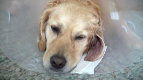 Slow Motion Sequence Of Poorly Golden Retriever Dog stock video footage