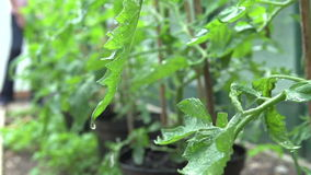 Slow Motion Sequence Of Water Dripping From Tomato Plant stock footage