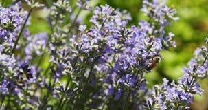 Bee on purple flowers. Slow motion shot of bee on purple flowers stock footage