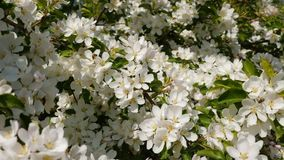 Blossoming apple fruit trees in orchard in springtime. Slow motion shot of blossoming apple fruit trees in orchard in springtime, bees pollinate blossoming apple stock video