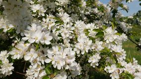 Blossoming apple fruit trees in orchard in springtime. Slow motion shot of blossoming apple fruit trees in orchard in springtime, bees pollinate blossoming apple stock video footage