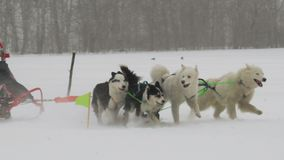 Husky dog team with rider participates in the race. Slow motion shot of husky dog team and female sledge rider run in the race on snowy field stock video footage