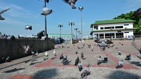 Slow motion shot of pigeons bird fly away from camera.  stock video footage