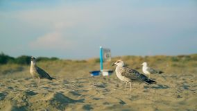Slow motion shot of a seagull walking on the beach during golden hour. Rome, Italy stock video