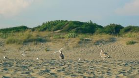 Slow motion shot of a seagull walking on the beach during golden hour. Rome, Italy stock footage