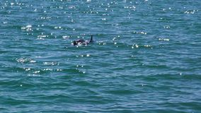Two dolphins in a blue ocean water. A slow motion shot of two dolphins in the blue ocean water stock video footage
