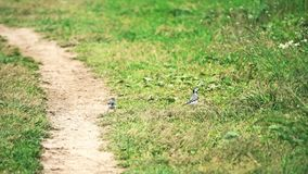 Two funny wagtail birds on a sandy road. Slow motion shot of two wagtail birds on a sandy road stock video