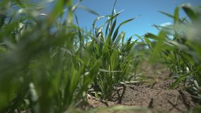 Slow motion, locked down shot of young oat plants blowing in the wind. stock footage