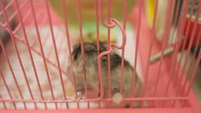 Small hamster in cage. Slow motion of small hamster in cage, 4k stock video footage