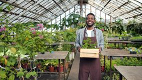 African American farmer in apron walking in greenhouse holding box of plants. Slow motion of smiling African American farmer in apron walking in greenhouse stock video footage