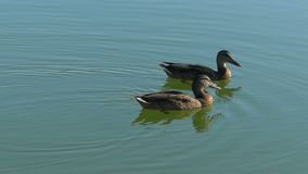A pair of brown ducks swim in lake waters in slo-mo. Slow motion - A splendid view of two brown ducks swimming in the lake. The sparkling lake waters look stock video footage
