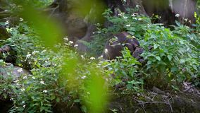 Slow Motion Sun Bear showing its powerful jaws in forest between trees zoo. Slow Motion of Sun Bear showing its powerful jaws in forest between trees at zoo stock footage