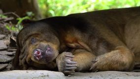 Slow Motion of Sun Bear sleeping in forest between rocks and trees at zoo. Asiatic Honey Bear in nature wildlife. Helarctos malayanus species living in stock video