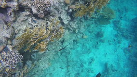 Slow motion. Surgeonfish swim among the coral reefs stock footage