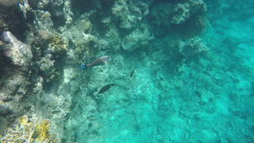Slow motion. Surgeonfish swims near coral stock footage